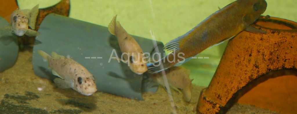 Labeotropheus Trewavasea Chilumba red