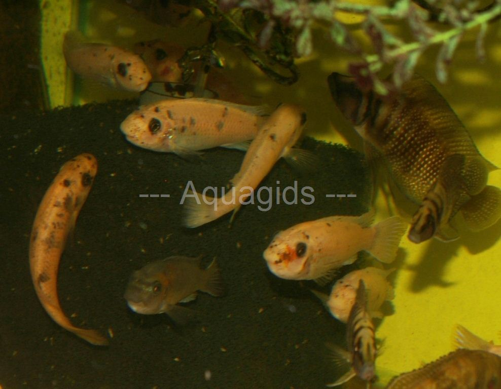 Labeotropheus Trewavasea Chilumba red vrouwen