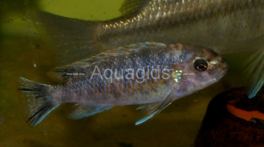 Labeotropheus Trewavasae Thumbi West