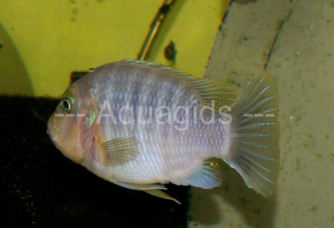 Petrotilapia sp.yellow chin