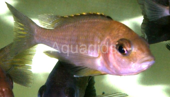 Placidochromis Sp. Mbamba bay